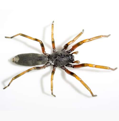 White tip spider