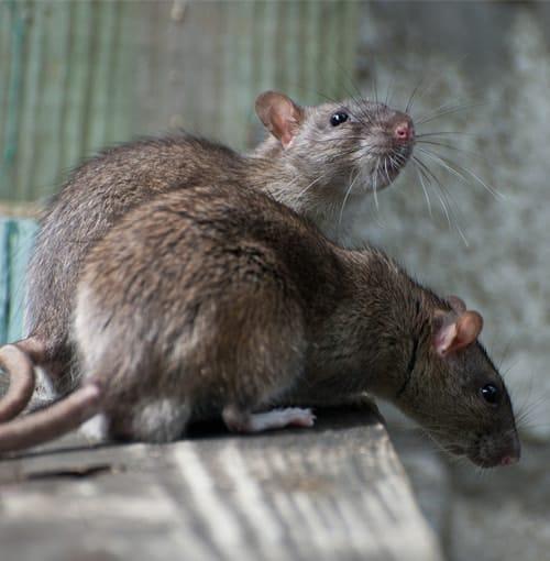 Common rat