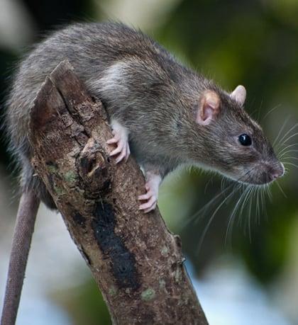 Rat treatments